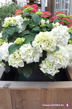 Grand Hortensia Blanc