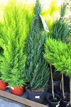 "Juniperus ""Blue Arrow"""