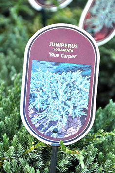"Juniperus ""Blue Carpet"""