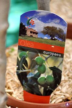 "Olivier ""Europaea"""