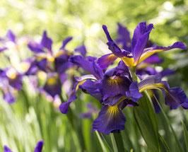 Céremonie Iris
