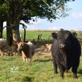 """210212 Colis viande Galloway """"FAMILLE"""" 10KG de la ferme de la Géronne, retrait le 12 février 2021 entre 16h et 18h"""