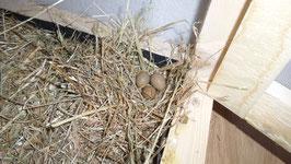 Zwergwachtel-Eier
