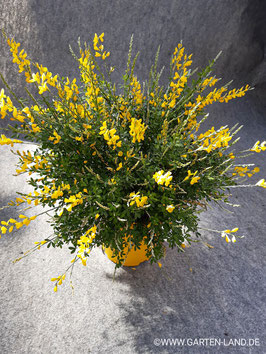 Bepflanztes Gefäß mit Ginster Cytisus Maderensis