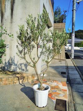 オリーブ 鉢植え 10号(510:ミッション)大型 創樹ブランド 現品 新築祝い 開店祝い シンボルツリー インテリア