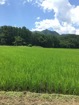Toka rice -organic Koshihikari