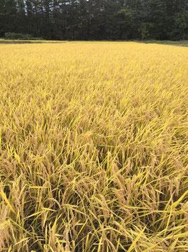 """【令和3年会津下郷産米 コシヒカリ栽培期間中農薬肥料不使用米 """"とか米"""" 5kg袋入り】"""