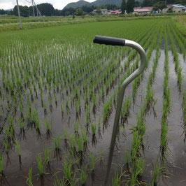 """白米5kg入り栽培期間中農薬不使用""""とか米""""平成28年会津下郷産コシヒカリ"""