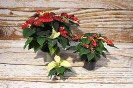 Weihnachtsstern, Rot/Weiß