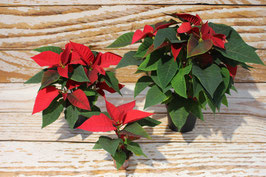 Weihnachtsstern, Rot