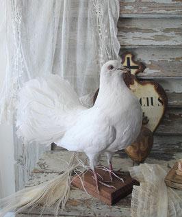 Schönes altes Tierpräparat: Weiße Taube