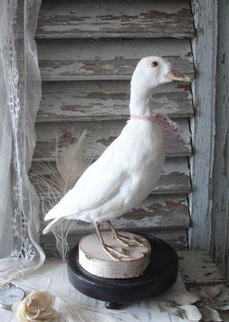 Schönes Tierpräparat: Weiße Ente