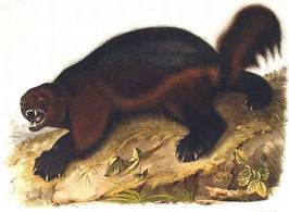 The Viviparous Quadrupeds of North America