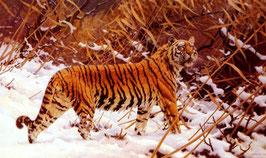 Siberian Tiger in a Snowy Landscape