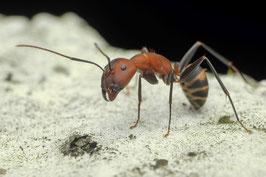 Camponotus habereri