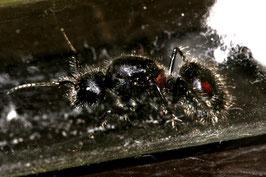 Camponotus xiangban