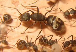 Camponotus parius