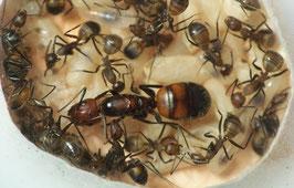 Camponotus nicobarensis Polygyne