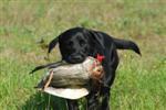 Arbeiten mit Wild für Junghunde