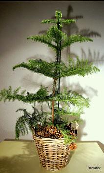 Zimmertanne (Araucaria) in Korb mit Zapfen dekoriert