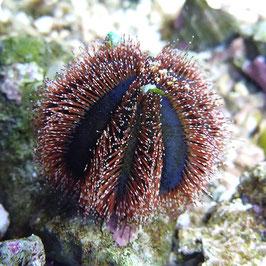 Mespilla globulus S (Elevé en captivité)