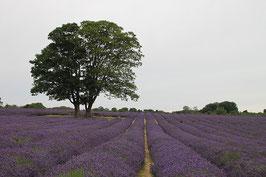 Bio Lavendelöl