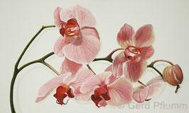 Orchidee No 2