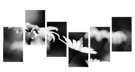 Margherite Bianco Nero