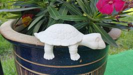 kleine Regalschildkröte Carol