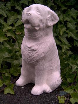 Paul der Berner Sennenhund