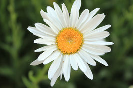 300 Graines de fleurs Camomille Matricaire