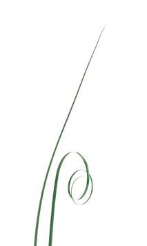 Bear grass vert