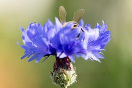 Biene auf Kornblume