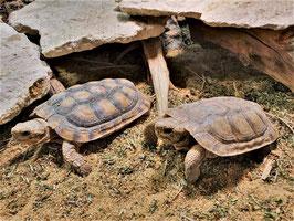 Spaltenschildkröte - Malacochersus tornieri / Paarpreis