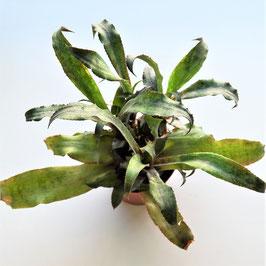 Cryptanthus spec.