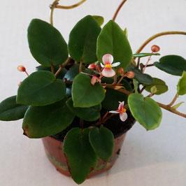 Begonia schulzei - rankende Begonie DAUERBLÜHER