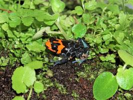 Ranitomeya benedicta - Rotkopfbaumsteiger