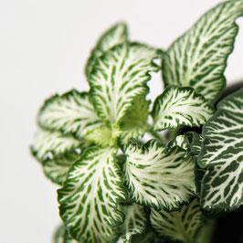 Fittonia verschaffeltii  'white'