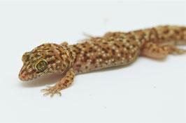 Heteronotia binoei - Australischer Jungfern,- oder Kaktusgecko