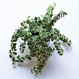Ficus pumilla weiß/grün oder grüne Blätter wählbar