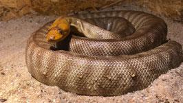 Woma Python - Aspidites ramsayi Paarpreis