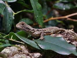 Australische Wasseragame - Intellagama lesueurii (ehem.: Physignathus lesueurii)
