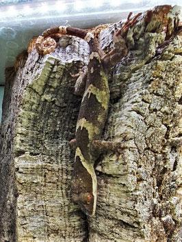 Cyrtodactylus irianjayaensis - großer Bogenfinger Gecko Paarpreis