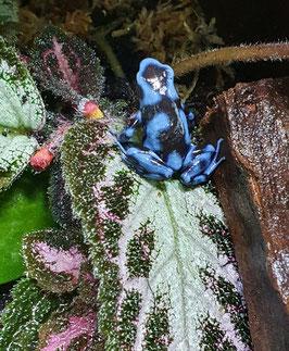"""Dendrobates auratus - Goldbaumsteiger """"dark blue"""""""