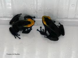"Dendrobates tinctorius "" Lorenzo "" -PAAR adult"