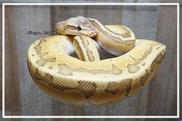 Python regius - Königspython Emperor Pin Männchen