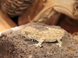 Helmkopfgecko - Tarentola chazaliae