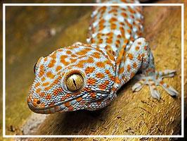 Tokeh / Tokee - Gecko gekko PÄRCHEN