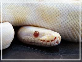 Python regius - Königspython Albino Männchen