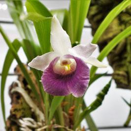 Aufgebundene Orchidee -
